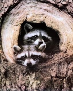 2_Raccoon.jpg