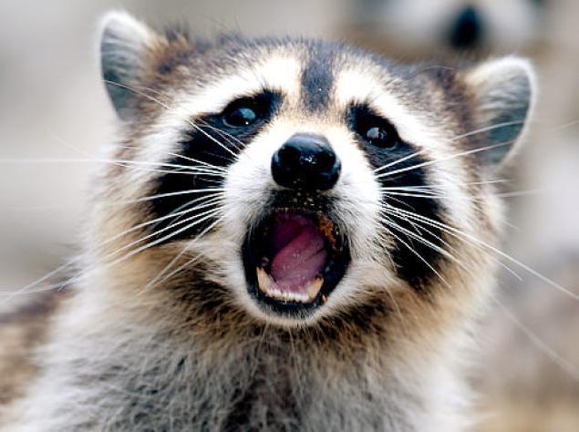 alg-resize-raccoon-jpg.jpg