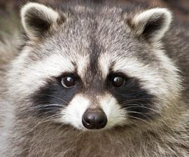 raccoon_face.jpg