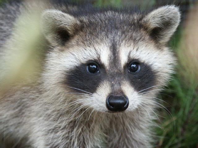 raccoonYoung.jpg